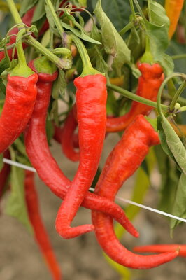 Dracula Hot Pepper, 20 semien